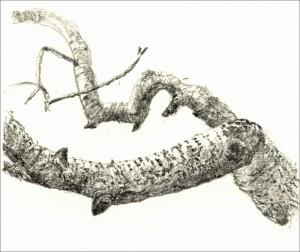 Branch White Poplar Pencil/paper 15x10cm