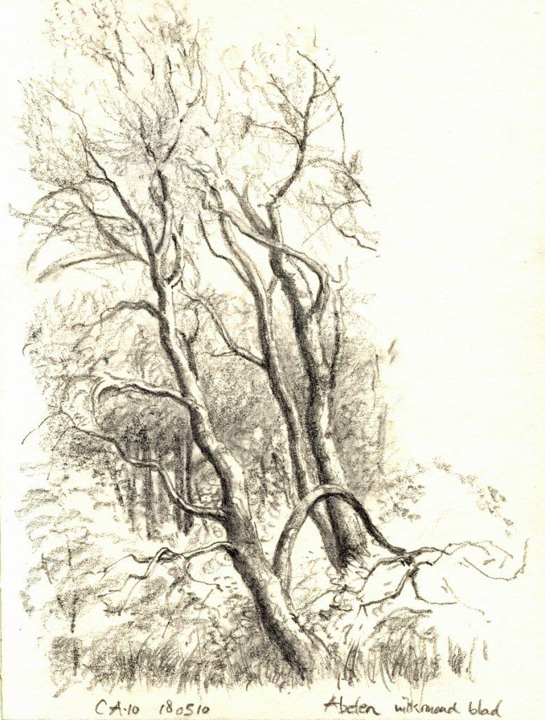 Abelen in de Bakkumse duinen - potlood op papier - 15x11cm